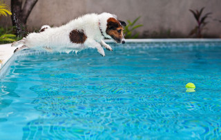 Playful jack russell terrier puppy in swimming pool has fun - dog jump and dive underwater to retrieve ball. Training and active games with family pets and popular dog breeds on summer holiday